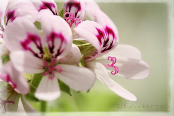 Lemon Geranium detail